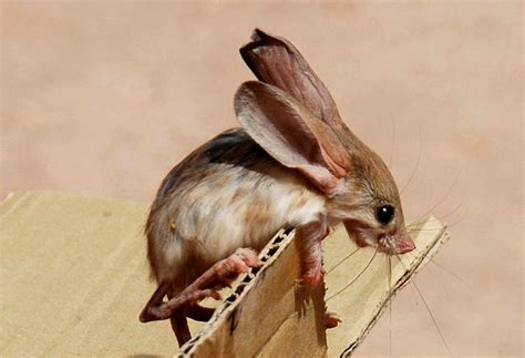 Eared Jerboa Endangered by 21 Best Jerboa Images On Beautiful Friends
