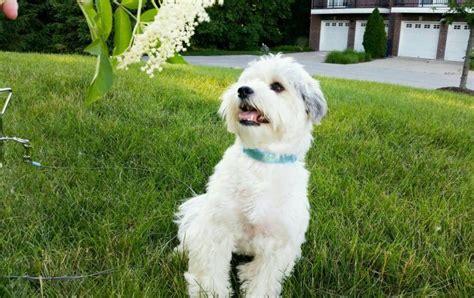 havanese breeders michigan havanese puppies heavenly havanese imlay city michigan breeds picture