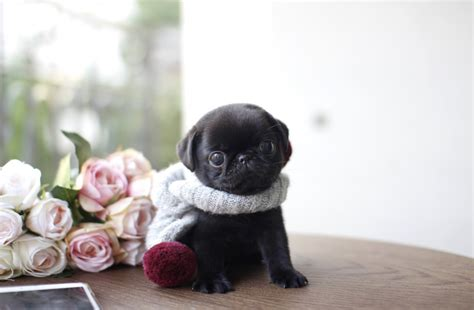 tiny teacup pugs tiny lil baby jetta sold for boutique teacup puppies