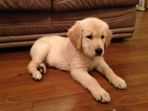 golden retriever for sale hshire golden retriever puppies crewe cheshire pets4homes