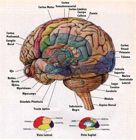 imagenes de el cerebro humano el cerebro humano experimentemos