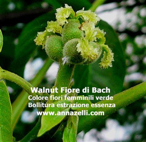 walnut fiore di bach fiore di bach walnut fare di una mosca