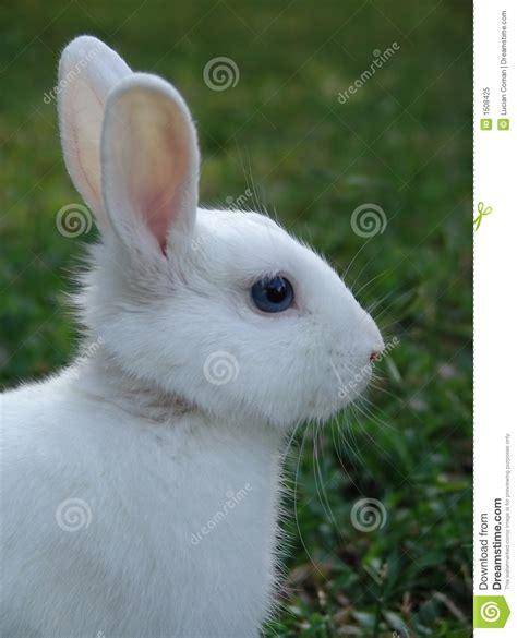 12 Md Rabbit Bery White white rabbit royalty free stock photo image 1508425