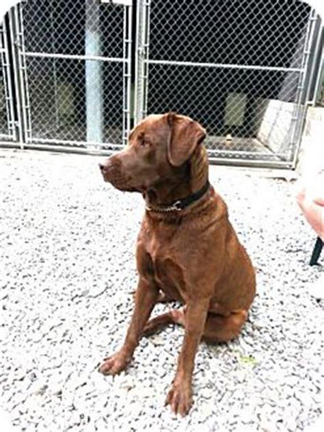 golden retriever chesapeake bay retriever mix irwin pa chesapeake bay retriever mix meet zeus a for adoption