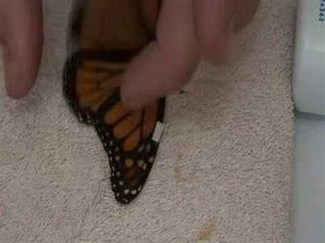 laile brise comment r 233 parer l aile cass 233 e d un papillon