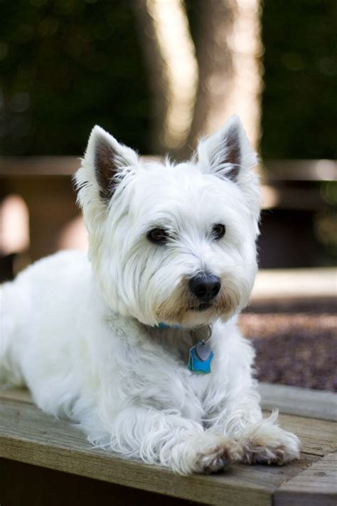 styles of clips for west highland terriers 159 best westie images on pinterest little dogs cute