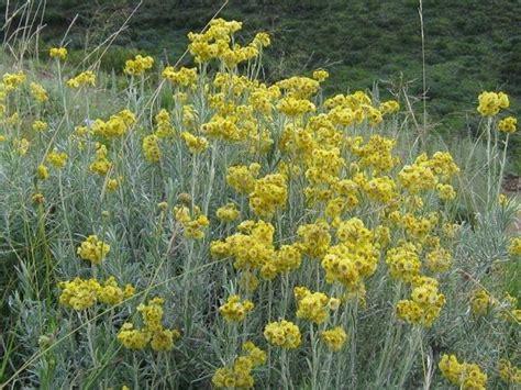 fiore elicriso elicriso rimedi naturali