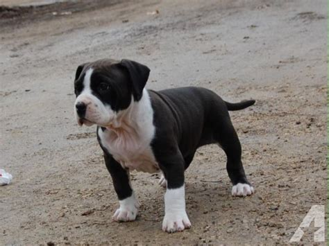 bully puppies for sale in michigan bully puppy for sale in escanaba michigan