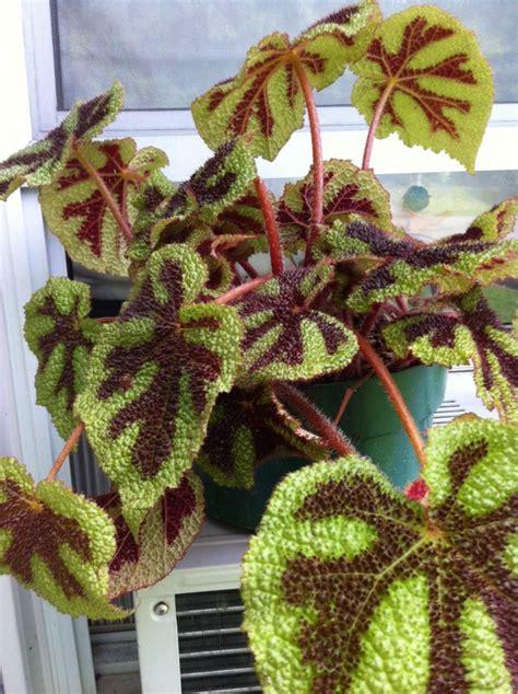 Tanaman Begonia Iron Cross yellow leaves on pothos