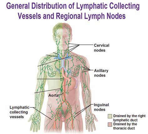 lymph nodes groin diagram lymph nodes