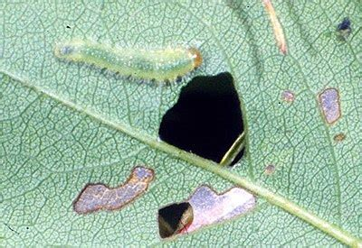 rose slug fairfax gardening