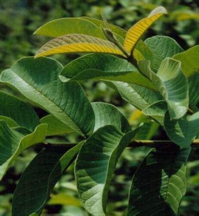Daun Jambu Biji Klutuk akhdan s story mengatasi diare dengan daun jambu biji