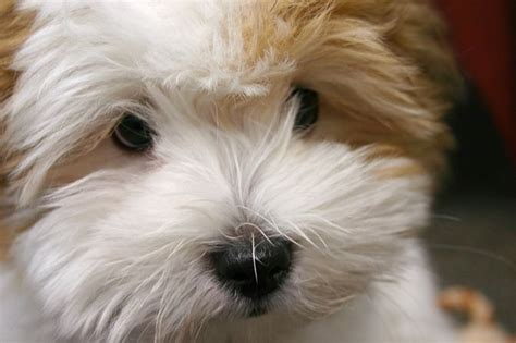 havanese or coton de tulear 17 best images about designer dogs mixed breeds on shih poo puppys and