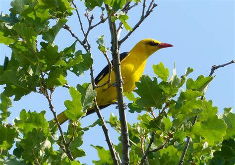 Golden Bird golden bird golden oriole oriolus oriolus