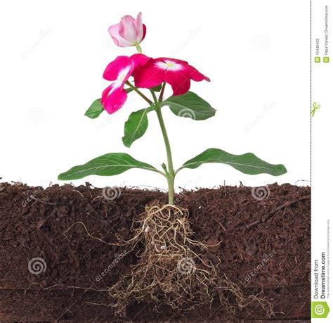 fiori con la u pianta con i fiori e la radice visibile immagine stock
