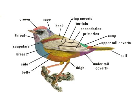 hummingbird beak diagram