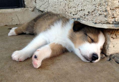 sleepy puppies sleepy puppy heritage scotch collies