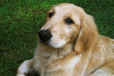 golden retriever and file golden retriever puppy jpg