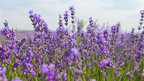 Living Lavender living farms oils for everyone