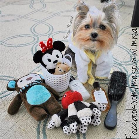 yorkie misa 99 best images about great yorkie pics on ralph waldo emerson yorkies and