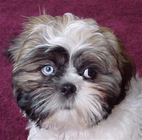blue eyed shih tzu puppies travis pup shih tzu one blue eye one brown my puppies shih tzu