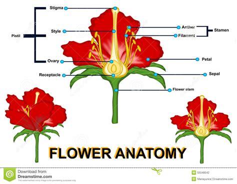 anatomia fiore parts of flower isolated stock illustration illustration