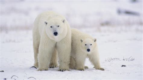 the polar bear polar bear wallpapers hd wallpapers desktop wallapers high definition wallpapers