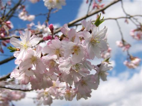 prunus subhirtella autumnalis autumn flowering higan cherry on plantplaces com