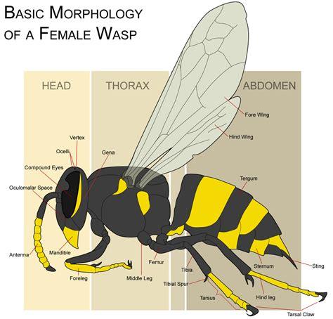 hornet cycle diagram microscope world wasp eye microscope