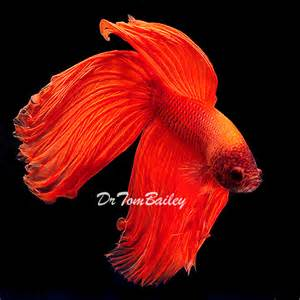 information about betta fish and click here to buy female betta fish