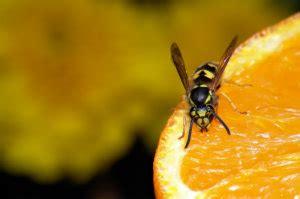 Mittel Gegen Wespen Im Dach by Hausmittel Gegen Wespen Was Hilft Bewertet De