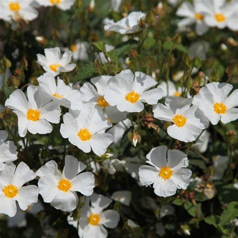 buy rock rose syn corbariensis cistus hybridus