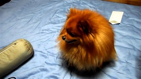 how to make your pomeranian fluffy my cut fluffy pomeranian