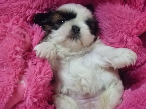 i want a shih tzu pin by on pictures