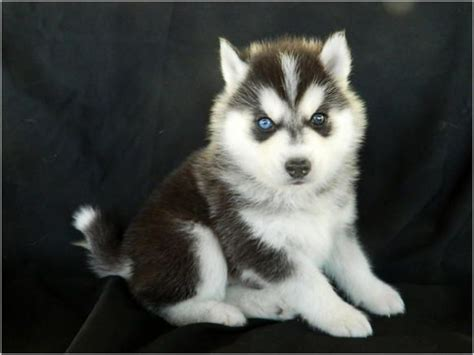 husky puppies for sale in florida timber wolf dogs for sale wolf puppy husky timber 700 jacksonville