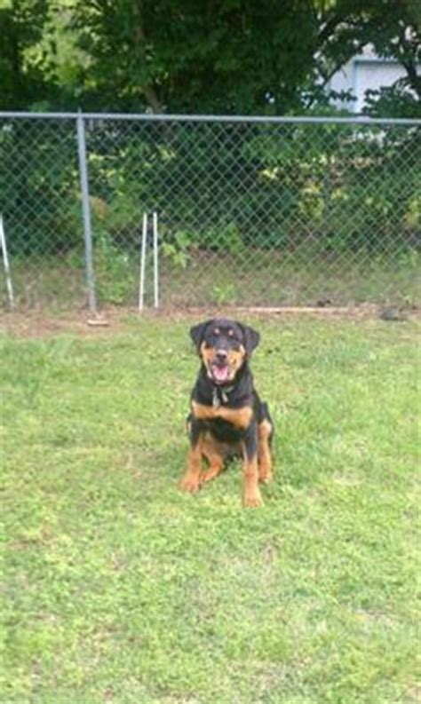 real rottweiler rescue phone number shelby the rottweiler