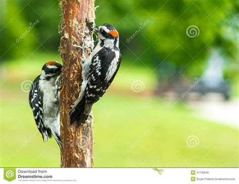 downy woodpeckers stock photo image 41138540