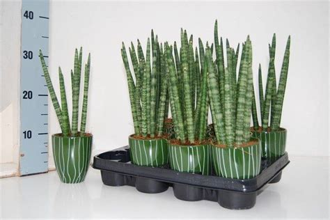 Home Interior Shops by Sansevieria Cylindrica Spaghetti In Pot Florastore