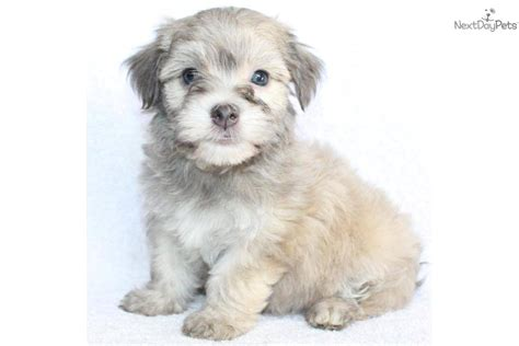gray havanese meet a havanese puppy for sale for 699 adorable grey havanese