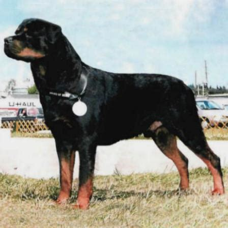 gamegards rottweilers gamegards racketeer rottweiler nation