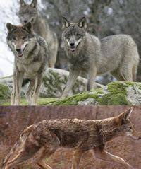 mousy cats and sheepish coyotes the science of animal personalities books difference between coyote and wolf difference between