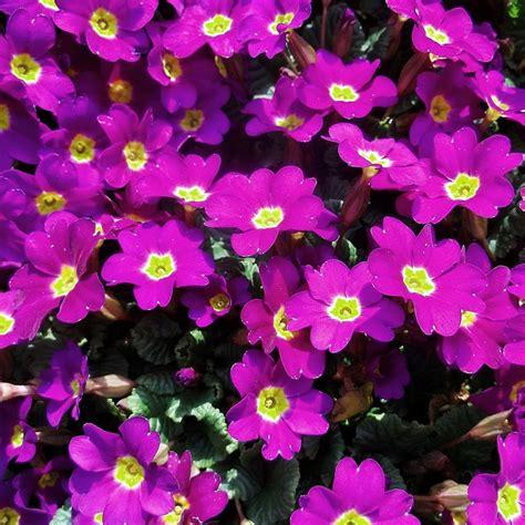 Aisiyah Syari New Series Warna Fuschia gambar anime series kembang kebon nami gambar bunga warna