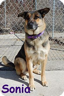 german shepherd puppies for adoption in pa 1000 ideas about german shepherd mix on westminster show husky and
