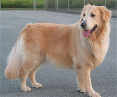 golden retriever pictures by age golden retriever photos pictures golden retrievers page 8
