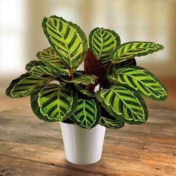 Tanaman Calathea White Fusion 940 best images about variegated plants on