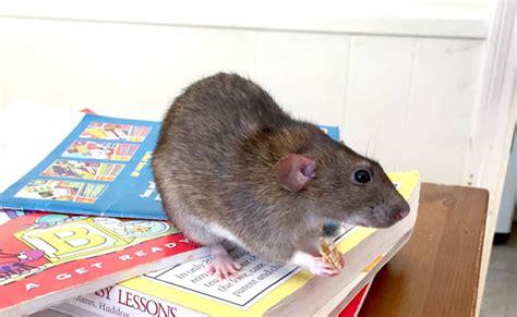 rats  pets  rats  good pet  kids clumsy crafter
