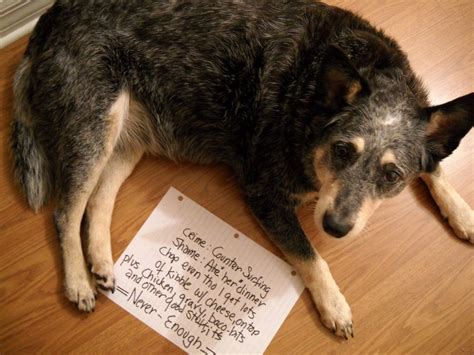 are pickles bad for dogs 50 guilty dogs with written signs on what they did is wrong the wondrous