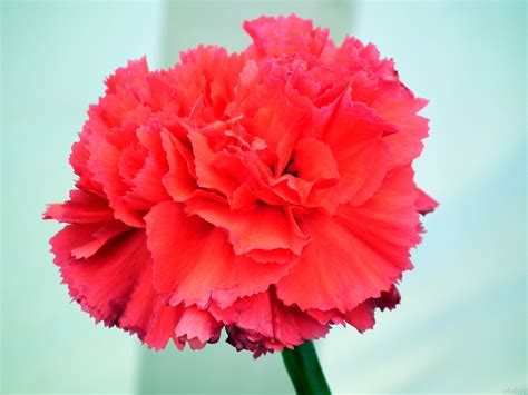 carnation colors bright color carnation flower 171 wallpaper tadka