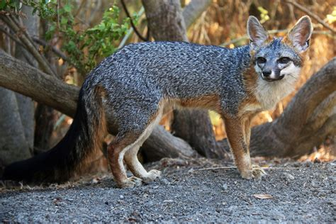 The Foxes meet the foxes of silicon valley the national wildlife