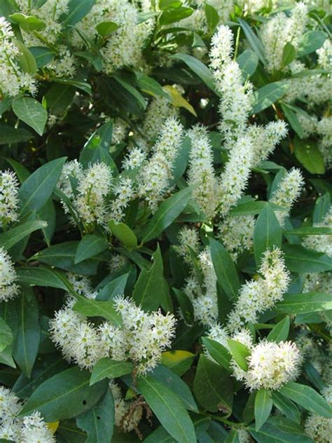 flowering evergreen shrubs for shade a sle of shrubs for the shade preen